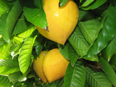egg fruit edible fruits